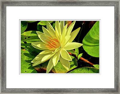 Water Lily And Pads Framed Print