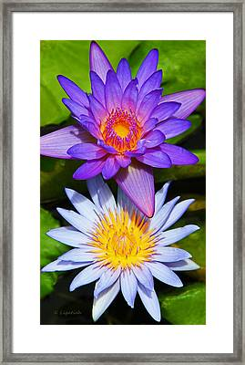 Water Lily Blossoms Framed Print
