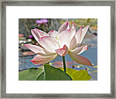 Water Lily Framed Print by Catherine Alfidi