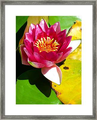Water Lily Fc 2 Framed Print
