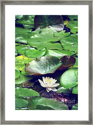 Water Lily II Framed Print by HD Connelly