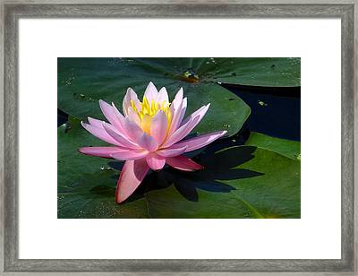 Water Lily In Mountain Lake Framed Print