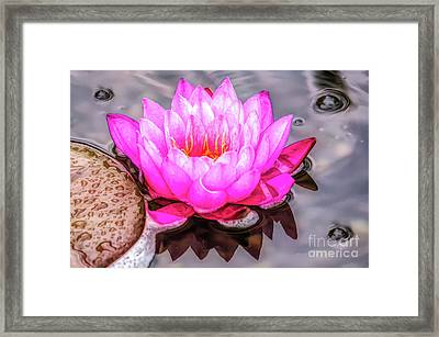 Water Lily In The Rain Framed Print