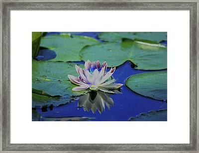 Water Lily  Framed Print by Karol Livote