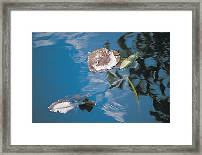 Water Lily Leaves And Reflection Of Clouds In Unknown Lake Framed Print