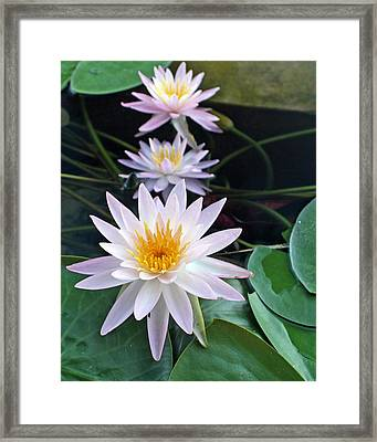 Framed Print featuring the photograph Water Lily Line by Farol Tomson