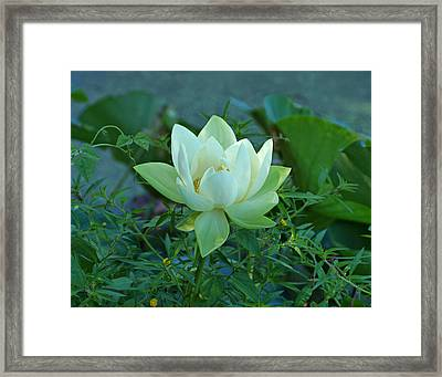 Water Lily Framed Print by Sandy Keeton