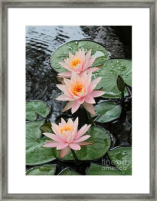 Water Lily Trio Framed Print