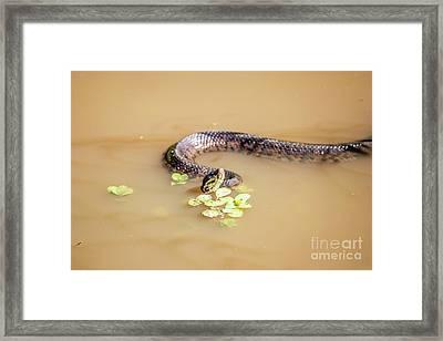 Water Moccasin Framed Print
