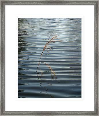Water Reed Framed Print by Dawn Davis