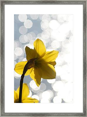 Water Reflected Daffodil Framed Print by Karla DeCamp