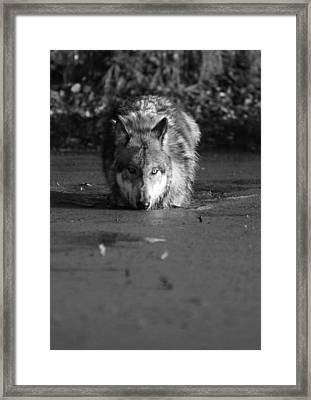 Framed Print featuring the photograph Water Wolf I by Shari Jardina