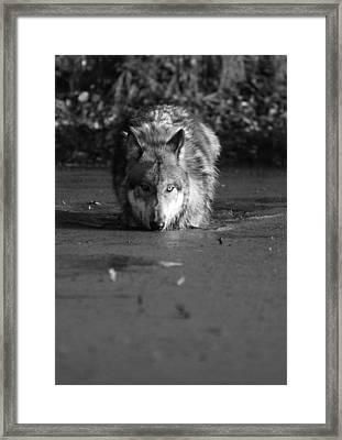 Water Wolf I Framed Print by Shari Jardina