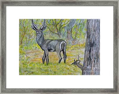Waterbuck At Kruger Framed Print by Caroline Street