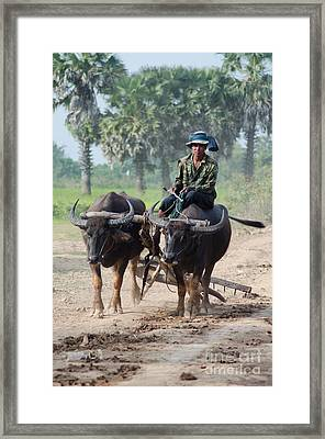 Waterbuffalo Driver Returns With His Animals At Day's End Framed Print