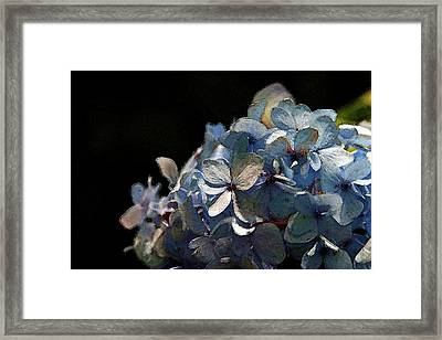 Watercolor Blue Hydrangea Blossoms 1203 W_2 Framed Print