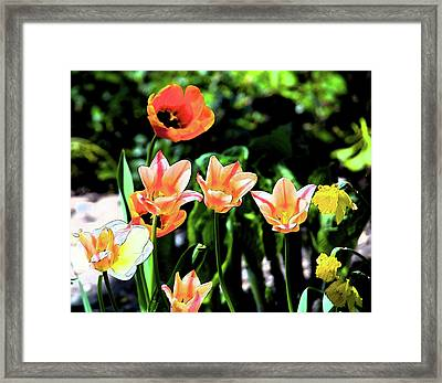 Watercolor Tulips Framed Print by Sheryl Thomas