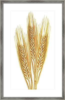 Framed Print featuring the painting Watercolor Wheat Illustration by Irina Sztukowski