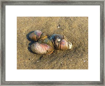 Watercolored Seashells Framed Print by Margie Avellino