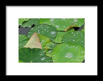 Lotus Framed Prints