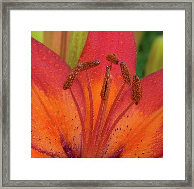 Watered Lily Framed Print by Jean Noren