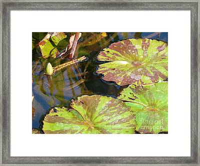 Waterlilies Framed Print by Donna McLarty