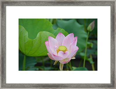 Waterlily Blossom With Seed Pod Framed Print by Linda Geiger