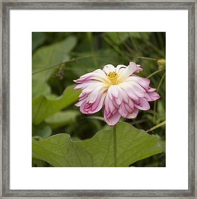 Waterlily Phasing Out Framed Print by Linda Geiger