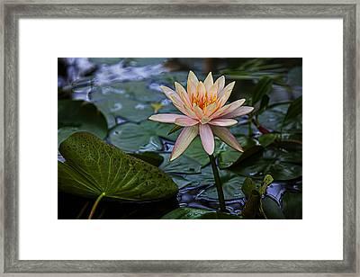 Waterlily Star Framed Print