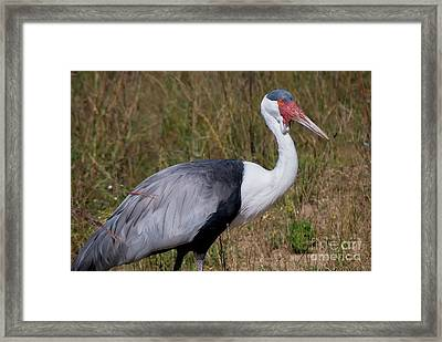 Wattled Crane 1 Visit Www.angeliniphoto.com For More Framed Print by Mary Angelini