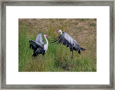Wattled Crane 2 Visit Www.angeliniphoto.com For More Framed Print by Mary Angelini