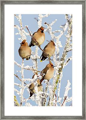 Waxwings And Hoar Frost Framed Print