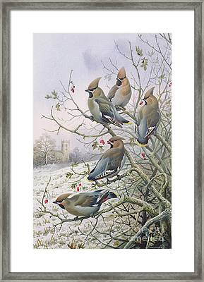 Waxwings Framed Print by Carl Donner