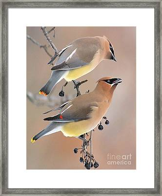 Waxwings Framed Print