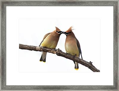 Waxwings In Love Framed Print