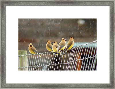 Waxwings In The Rain Framed Print