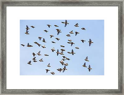 Framed Print featuring the photograph Waxwings by Mircea Costina Photography