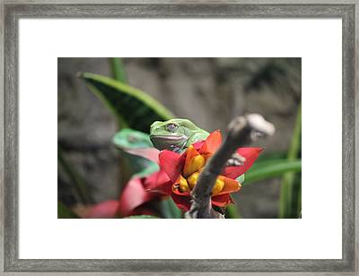 Waxy Monkey Frog  Framed Print