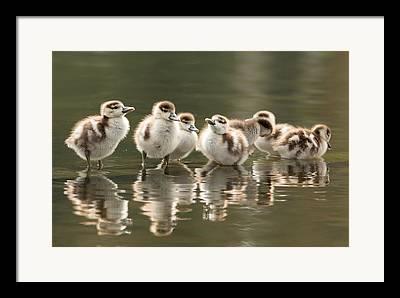 Young Birds Photographs Framed Prints