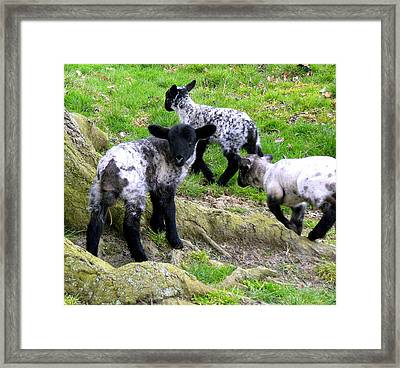 We Are Poor Little Lambs Framed Print