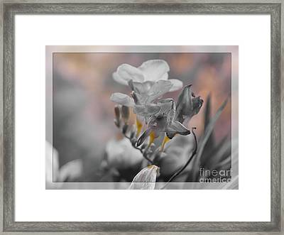 Framed Print featuring the photograph We Fade To Grey Freesia's by Lance Sheridan-Peel