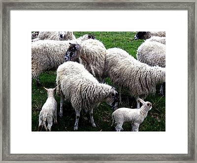 We Like Sheep Framed Print