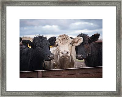 We Three Cows Framed Print by Jan M Holden