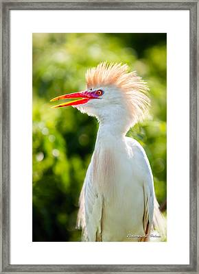 Wearing His Colors Framed Print by Christopher Holmes