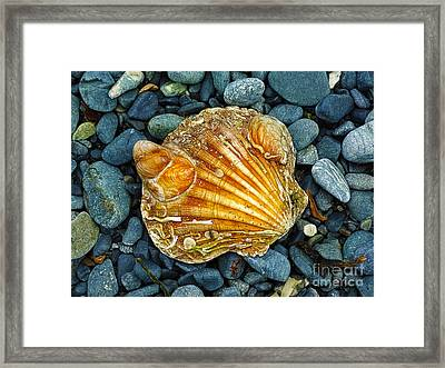 Weathered Scallop Shell Framed Print