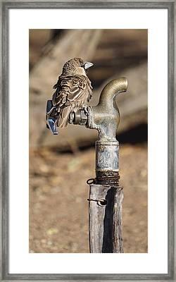 Weaver Bird Framed Print