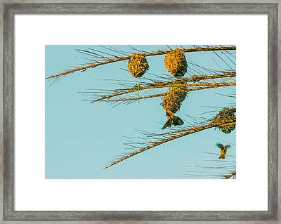 Weaver Birds Framed Print