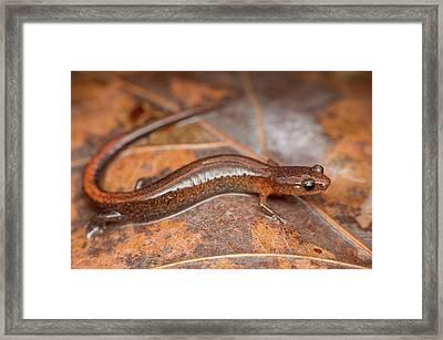 Webster's Salamander Framed Print by Derek Thornton