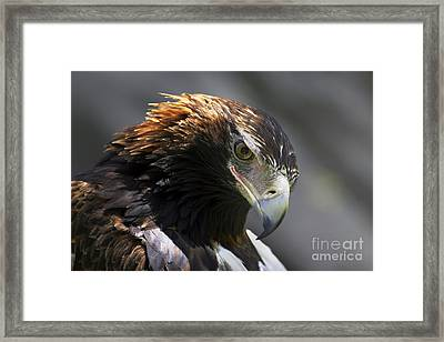 Wedge Tail Eagle Framed Print by Bill  Robinson