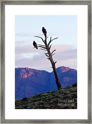 Wedge Tail Eagles Framed Print by Bill  Robinson
